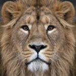 百花山✿狮子