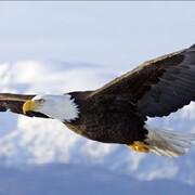 翱翔的雄鹰521